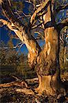 River red gum tree, Hattah-Kulkyne National Park, Victoria, Australia, Pacific