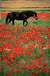 Black horse à champ de coquelicots, Chianti région, Toscane, Italie, Europe