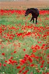 Cheval noir dans un champ de coquelicots, Chianti, Toscane, Italie, Europe