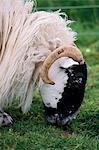 Schafe weiden, Schottland, Vereinigtes Königreich, Europa