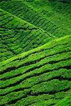 Rangées de buissons de thé au domaine Sungai Palas dans les Cameron Highlands, dans la Province de Perak, centre de production de thé en Malaisie, Asie du sud-est, Asie