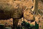 The rare hairy rhino (Sumatran rhino), smallest type of rhino at Sepilok Orang-Utan Sanctuary, near Sandakan, Sabah, Malaysia, Borneo, Southeast Asia, Asia