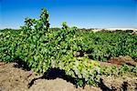 Vines at a winery vineyard, Barossa Valley, South Australia, Australia