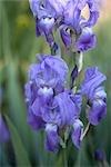 Blue and Purple Irises, Royal Botanical Gardens, Hamilton, Ontario, Canada
