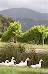 Geese, Blenheim, South Island, New Zealand