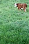 Kuh in einem Feld