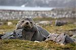 Southern Fur Seal, South Georgia Island, Antarctica