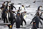 King Penguins in Surf, South Georgia Island, Antarctica