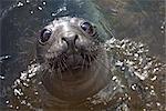 Elephant Seal, South Georgia Island, Antarctica