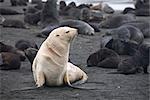 White Phase Fur Seal, South Georgia Island, Antarctica