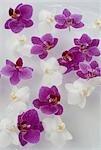 Orchidées blanches et violettes