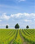 Vineyard, Alzey, Alzey-Worms, Rhineland-Palatinate, Germany