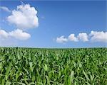 Corn, Franconia, Bavaria, Germany