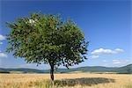 Barley Field and Cherry Tree, Franconia, Bavaria, Germany
