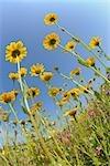 Fleurs jaunes, Franconie, Bavière, Allemagne