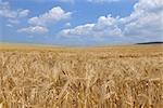 Barley Field, Franconia, Bavaria, Germany