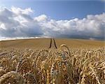 Champ de blé, Hesse, Allemagne