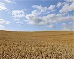 Wheat Field, Hesse, Germany