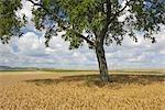 Walnut Tree, Rhineland-Palatinate, Germany