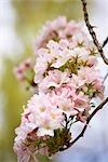 Close-up of Cherry Blossom, Devon, England