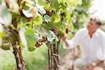 Nahaufnahme der Weintrauben
