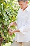 Wein Maker Schneiden ein Bündel Trauben aus der Rebe