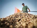 Worker Raking Pile Of Coffee Beans