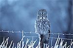GREAT GREY OWL Strix nebulosa SITTING ON WINTER FENCE