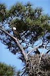 AIGLE à tête blanche Haliaeetus leucocephalus nid de gardiennage en Amérique du Nord