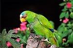 RIEUSE AMAZON perroquet Amazona albifrons forêt nuageuse de MONTEVERDE, COSTA RICA