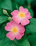 CLOSE-UP DETAIL OF PINK WILD ROSE BLOOM
