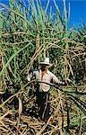 MAN HARVESTING SUGAR CANE EVERGLADES, FL
