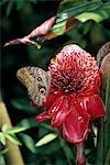 OWL BUTTERFLY AND TORCH GINGER Caligo idomeneus COSTA RICA