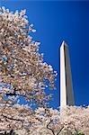 MONUMENT DE WASHINGTON, WASHINGTON DC AVEC LES CERISIERS EN FLEURS