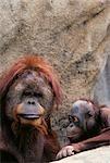 ORANGUTANS Pongo pygmaeus INDONESIA
