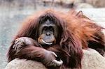 ORANGUTAN Pongo pygmaeus INDONESIA