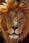 AFRICAN LION Panthera leo AFRICA