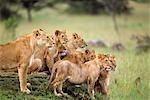 PRIDE OF LIONS Panthera leo ON GRASSY MOUND MASAI MARA GAME RESERVE KENYA, AFRICA