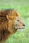 HEAD AND SHOULDERS SHOT OF LION Panthera leo AT MASAI MARA GAME RESERVE KENYA, AFRICA