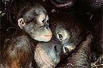 CLOSE-UP OF ORANGUTAN MOTHER AND BABY Pongo pygmaeus