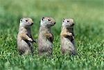 THREE BABY UINTA GROUND SQUIRRELS SITTING IN LINE YELLOWSTONE NATIONAL PARK WY