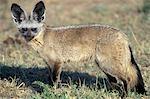 BAT-EARED FOX STANDING IN PLAINS KENYA, AFRICA
