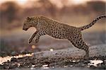 Léopard (Panthera pardus) sautant par-dessus les flaques d'eau, Namibie.