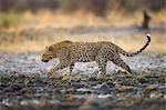 Leopard (Panthera pardus)  walking through muddy waterhole, Namibia.