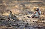 Photographer photographing Leopard (Panthera pardus), Namibia.