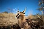Portrait of a Caracal (Felis Caracal) laying down, Na'an ku se Wild Life Sanctuary, Namibia.