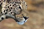Profile of a Leopard (Panthera Pardus), Okonjima Lodge and Africat Foundation, Namibia.