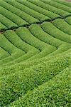Plantation de thé, Japon