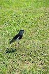 Oiseaux du sud de Vanneau huppé (Vanellus chilensis)