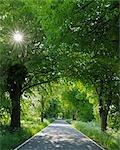 Tilleuls le long Road, île de Rügen, Mecklenburg-Ouest Pomerania, Allemagne